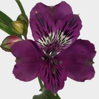Alstroemeria Orissa