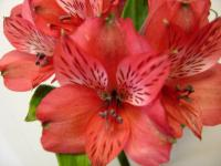 Alstroemeria Simply Red