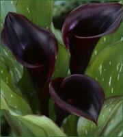 Calla Lily Black Star