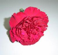 Crimson Carnations
