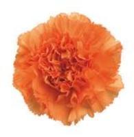 Raggio Carnations