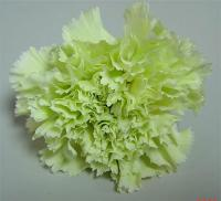 Sorbetto Carnations