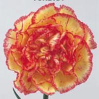 Tundra Carnations