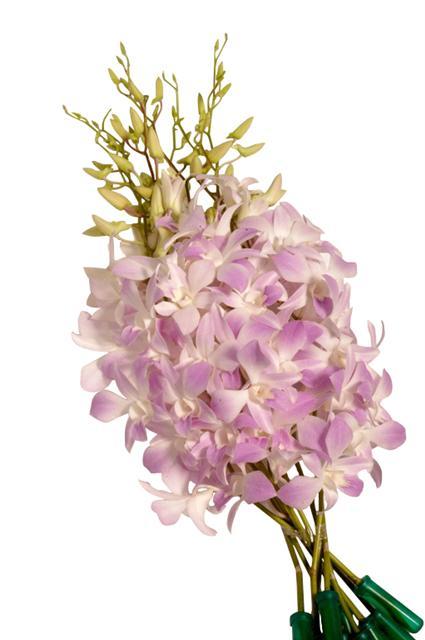 Dendrobium Misteen Metropolitan Wholesale Metropolitan