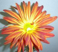 Wholesale Chrysanthemum Red Rover