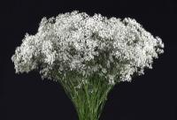 Wholesale Gypsophilia Million Star