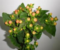 Wholesale Hypericum Elite Amber