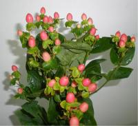 Wholesale Hypericum Elite Coral