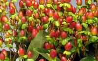 Wholesale Hypericum Excellent Flair
