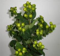 Wholesale Hypericum Green Condor