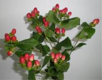 Wholesale Hypericum Red Magic