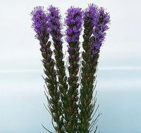 Wholesale Purple Liatris