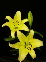Lily Oriental Yelloween