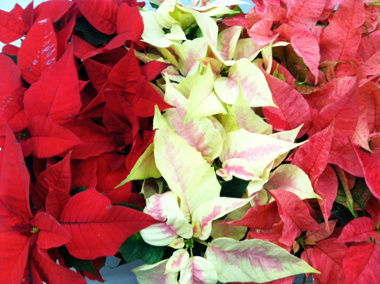 Poinsettia Care Metropolitan Wholesale Metropolitan