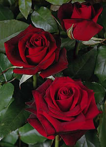 Wholesale Black Magic Roses