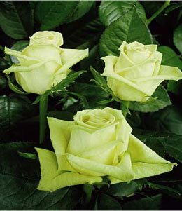 Green Tea Roses Metropolitan Wholesale Metropolitan