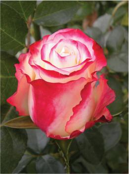 Роза свитнесс фото и описание