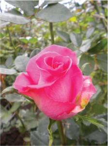 Wholesale Topaz Roses