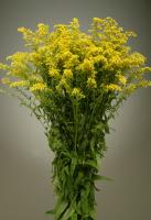 Wholesale Solidago