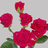 Spray Rose Lovely Lidya
