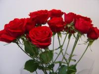 Spray Rose Scarlet