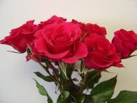Spray Rose Shakira