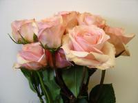 Spray Rose Star Blush