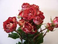Spray Rose Tiramisu