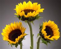 Medium Sunflowers