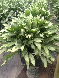 Aglaonema Jewel Of Indi