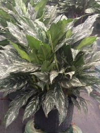 Aglaonema Shades