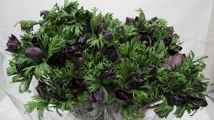 Anemone Bordeaux