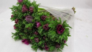 Anemone Marianne Orchid