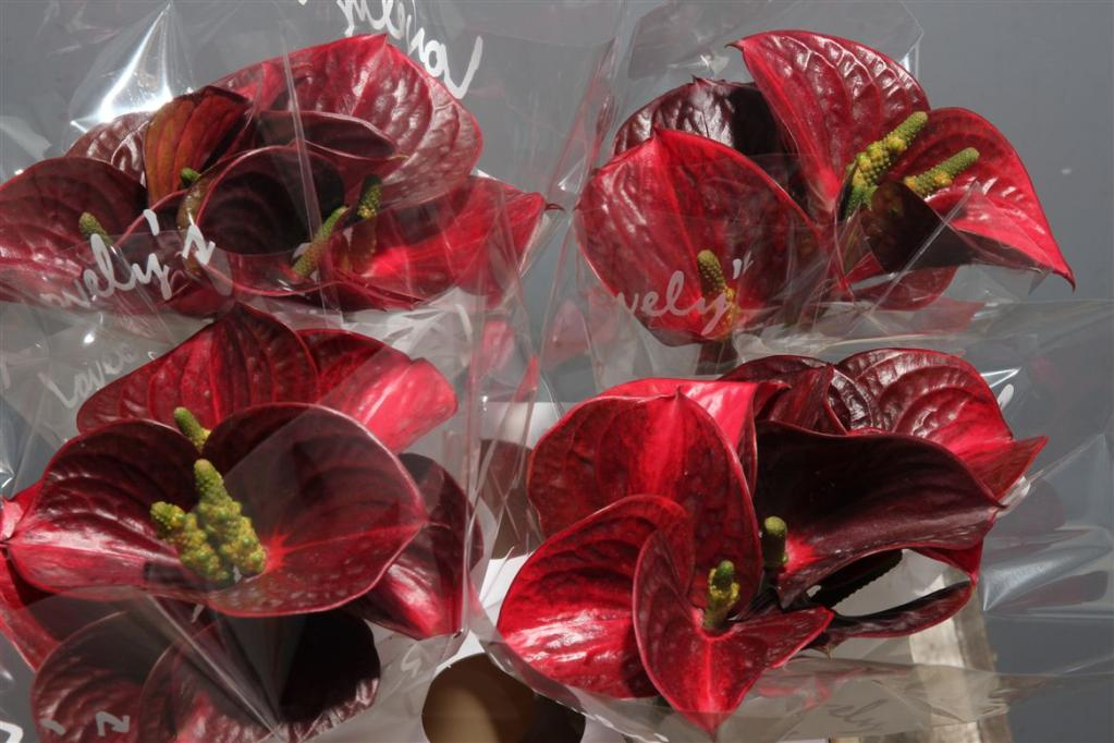 Anthurium Exciting Love Antique
