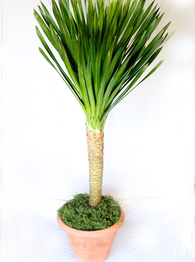 Dracaena arborea care metropolitan wholesale for Plante dracaena