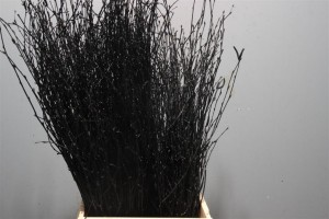 Birch Dyed Black