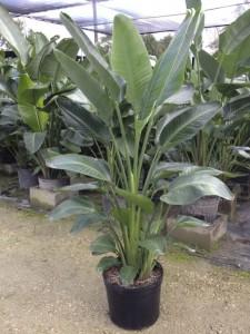 Bird Of Paradise Plant Care Metropolitan Wholesale