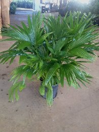 Chinese Fan Palm