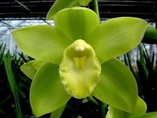 Cymbidium Baltic Glacier Mini Ice