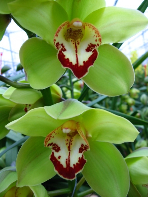 Cymbidium Baltic Harvest