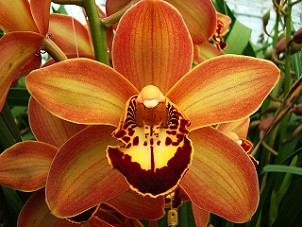 Cymbidium Charlie Brown
