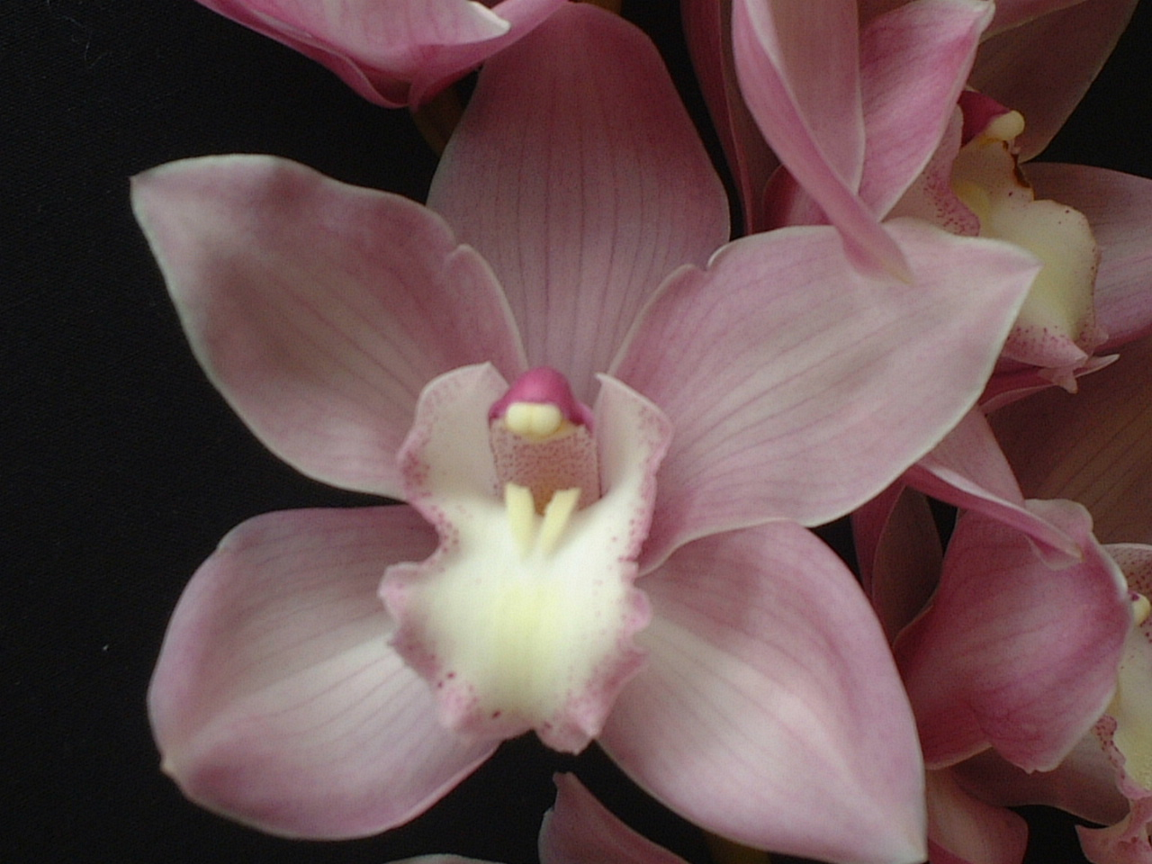 Cymbidium Coconut Ice