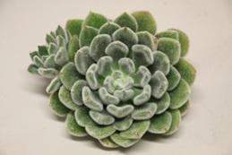 Echeveria Green Velvet