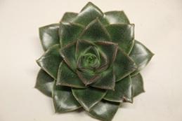 Echeveria Purpureum