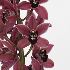 Mini Cymbidium Christmas Wish