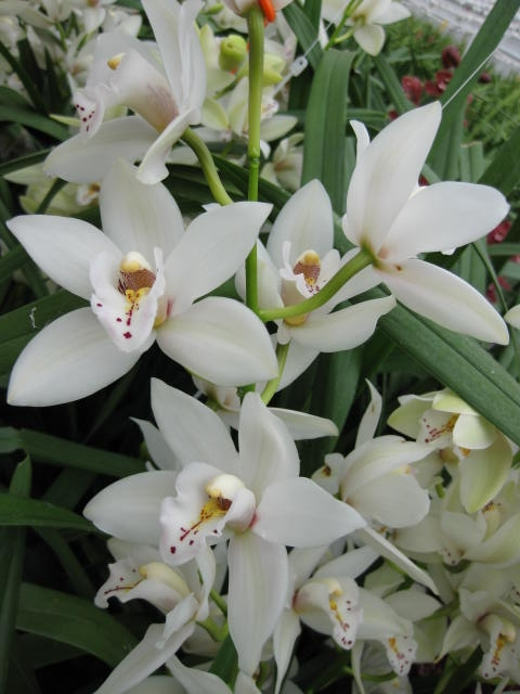 Mini Cymbidium New White