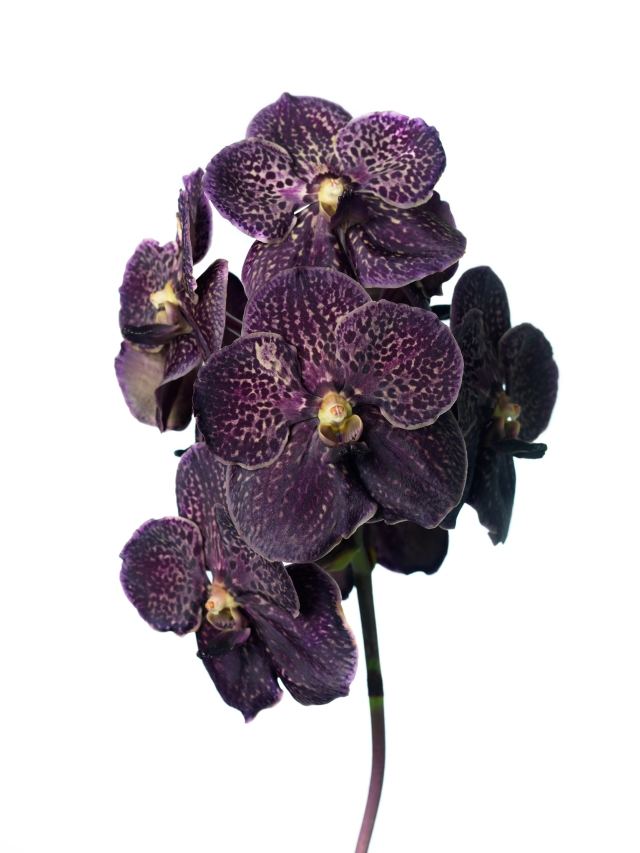 Vanda Dark Chocolate Brown