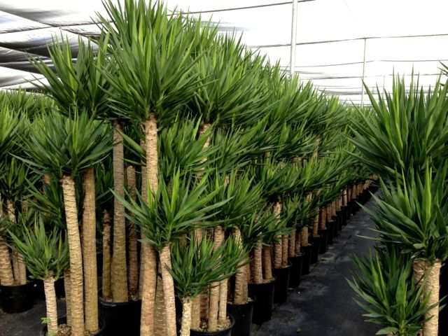 Yucca care instructions metropolitan wholesale for Yucca plante
