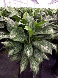 Aglaonema Moonlight Bay
