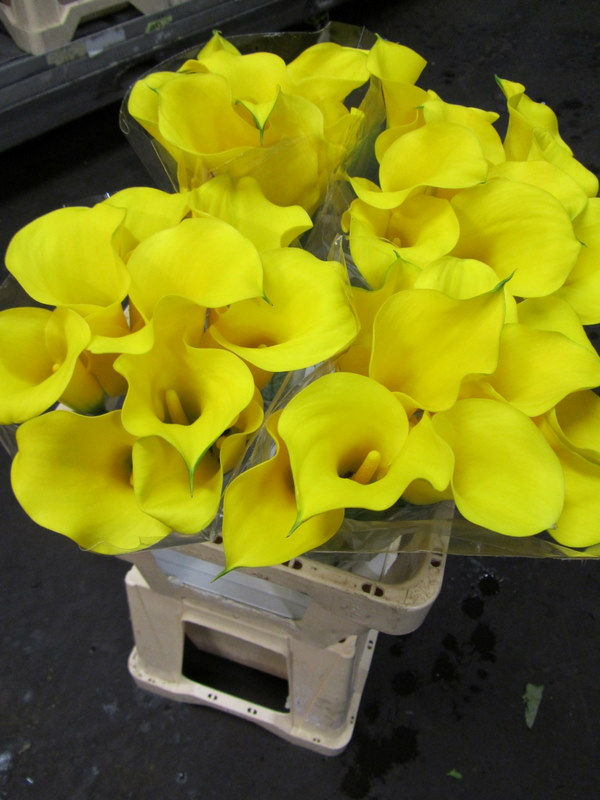 Calla Lily Gold Cup